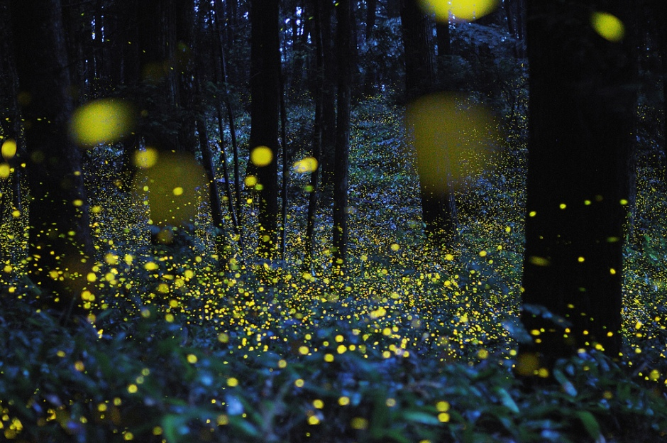 fireflies lightening bug